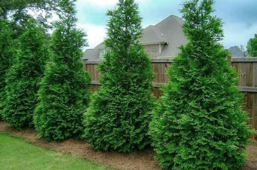 fast growing privacy trees for zone 7