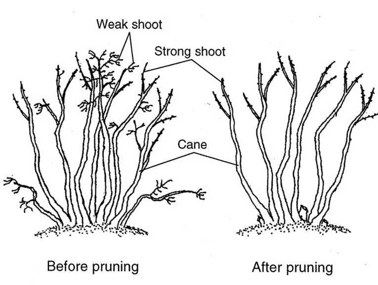 how to prune berry plants