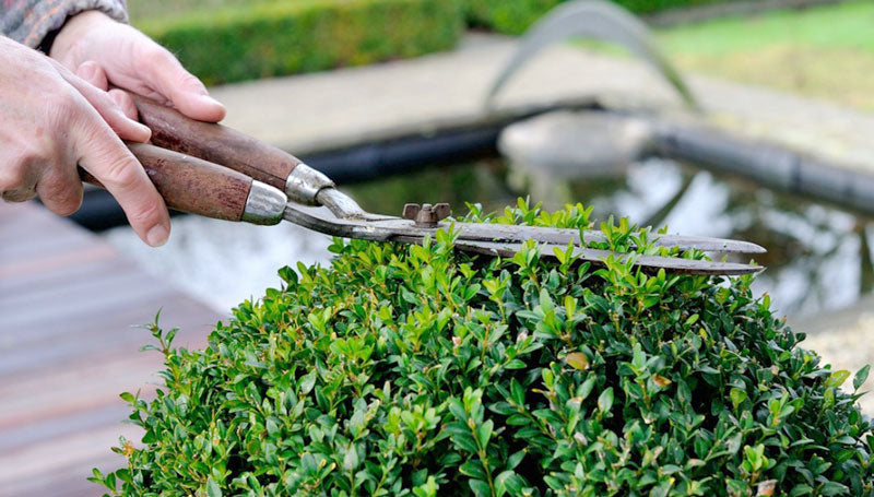 when to prune evergreen shrubs