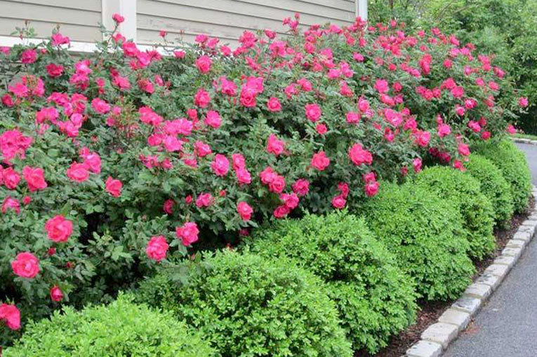 when to prune knock out roses