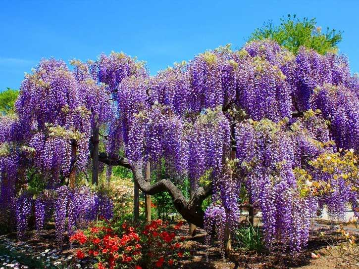 Purple Flowering Trees