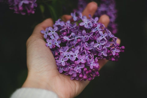 reblooming lilacs in hand
