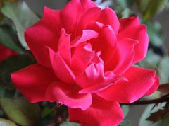 red-knock-out-rose