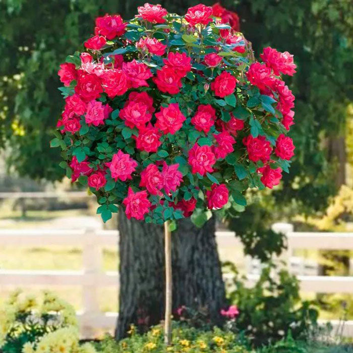 red rose trees