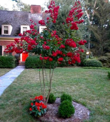 red crape myrtle - front yard trees