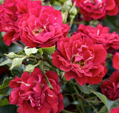 red drift roses