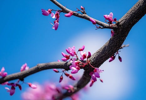 redbud tree leaves - how fast do redbud trees grow