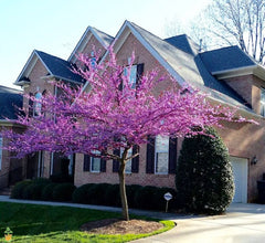 Eastern Redbud Tree in bloom