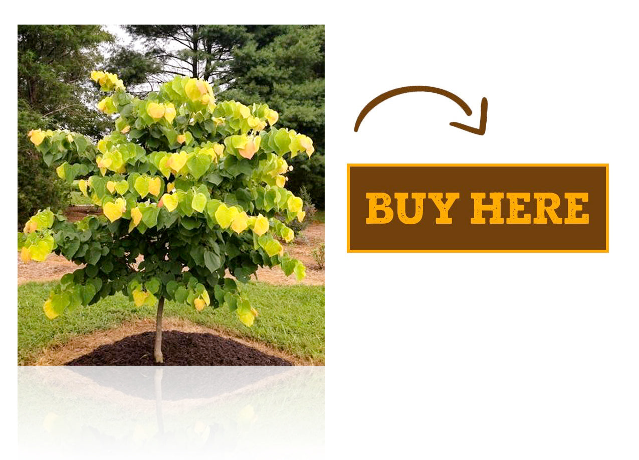 redbud-tree-care