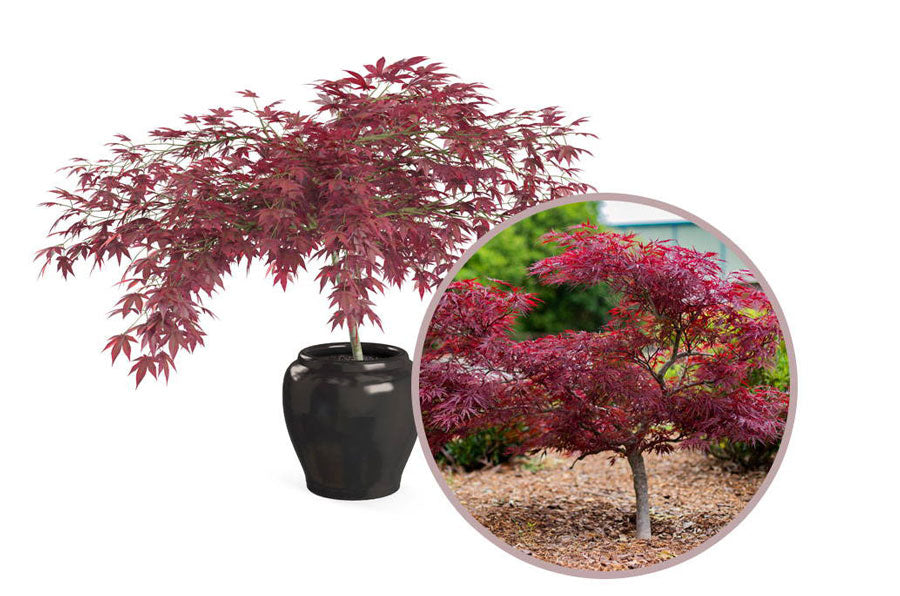 small japanese maples