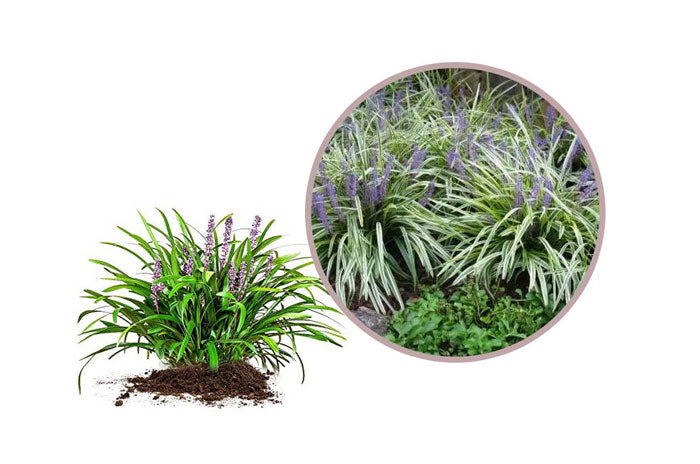 small ornamental grasses