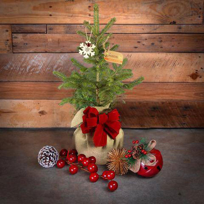 live potted mini christmas trees - colorado blue spruce