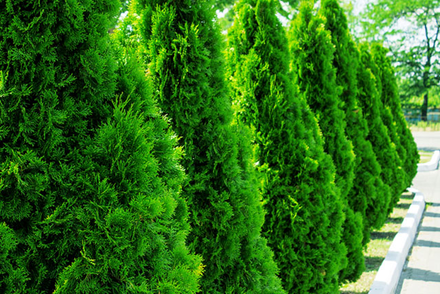 which evergreen trees are deer resistant plants?