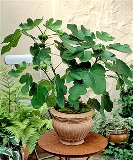 fig-tree-in-container