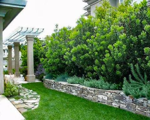 plants for privacy - wax myrtle