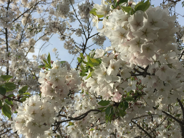 Yoshino Flowering Cherry Tree Blooms