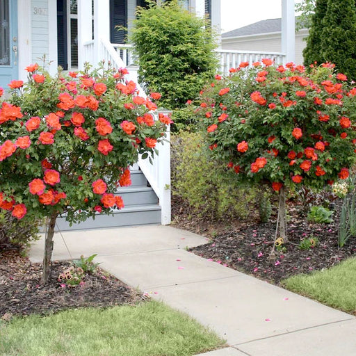 Coral knock out rose tree
