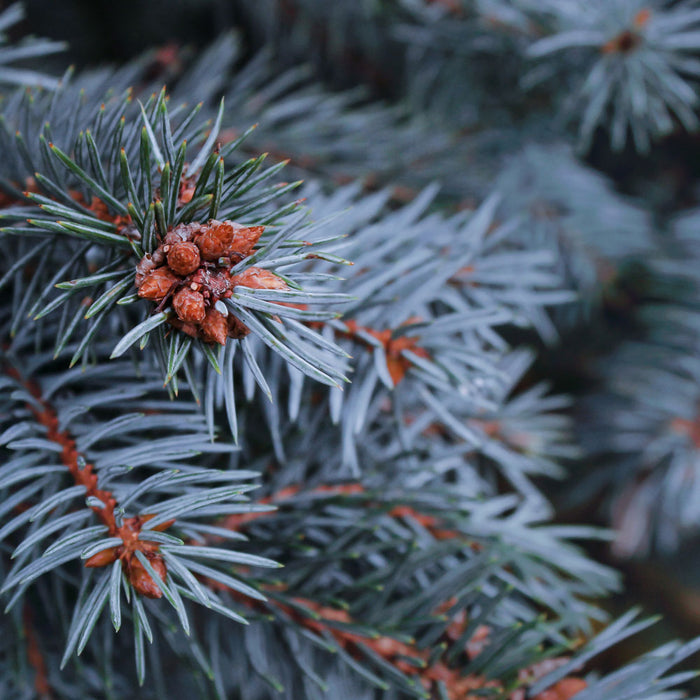 Baby Blue Spruce Close Up
