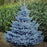 Baby Blue Spruce
