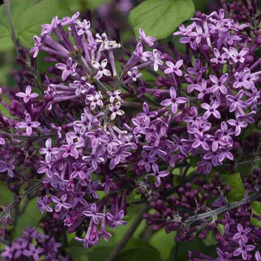 Bloomerang Dark Purple Lilac