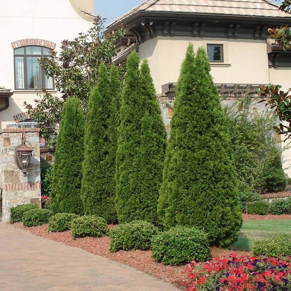 Emerald Green Arborvitae privacy trees