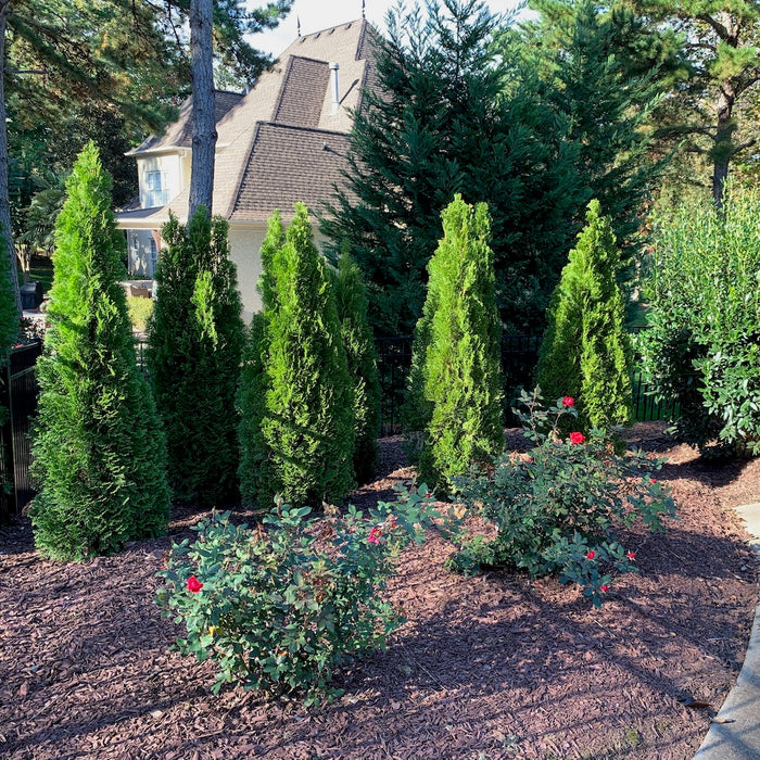 Emerald Green Arborvitae in Landscape