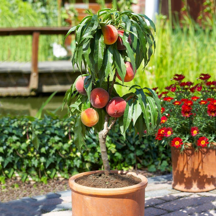 Patio Peach Tree in Pot
