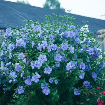 Blue Chiffon™ Rose of Sharon