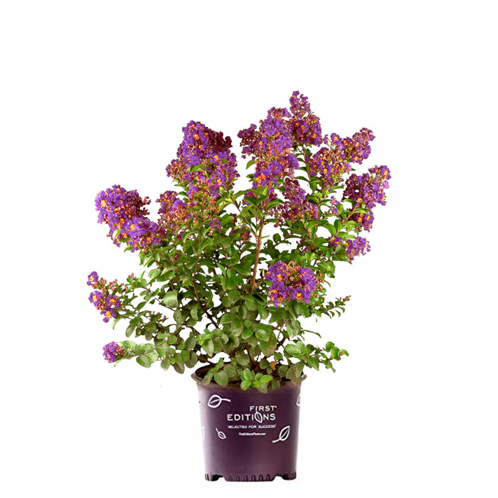 Purple Magic Crape Myrtle Tree