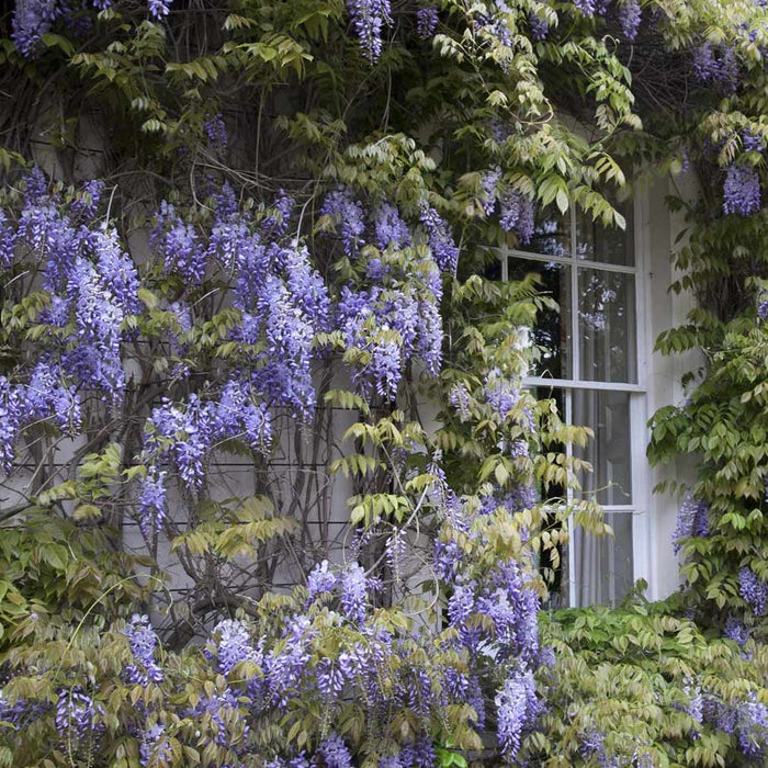 Blue Chinese Wisteria Vine Cascading Blooms Plantingtree Com