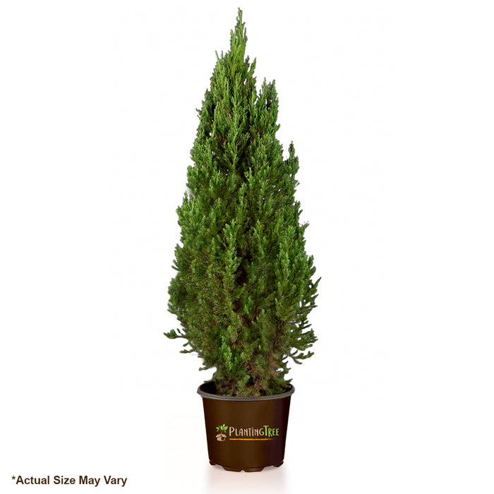 Blue Point Juniper for Sale