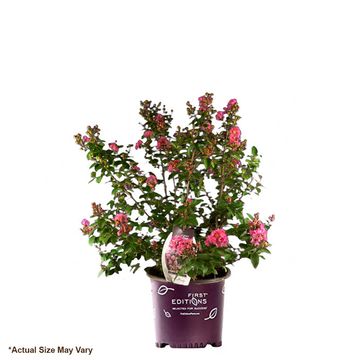 Coral Magic\u2122 Crape Myrtle