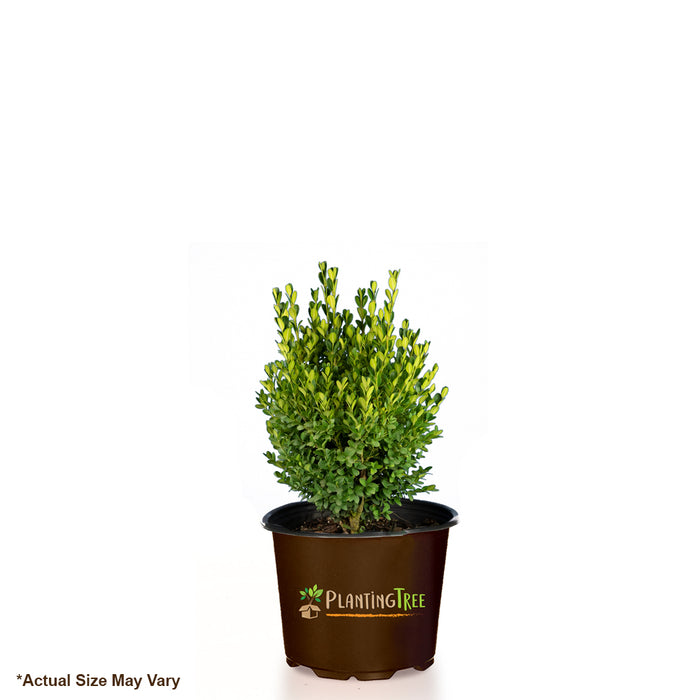 Green Mountain Boxwood for Sale