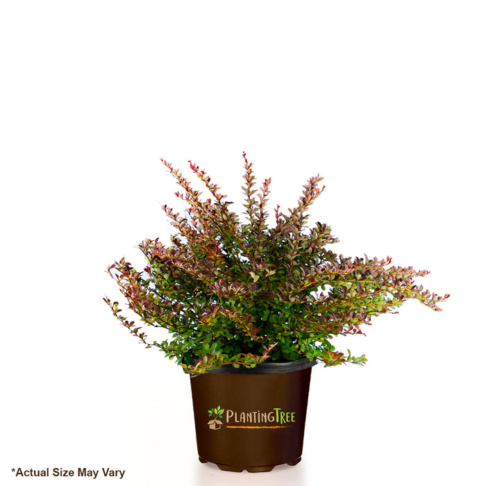 Crimson Pigmy Barberry for Sale