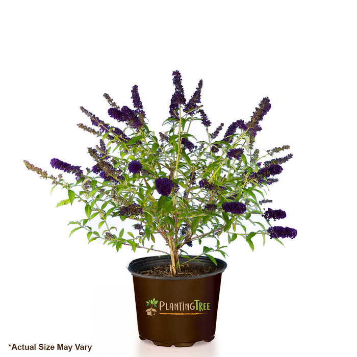 Black Knight Butterfly Bushm| mBlack Knight Butterfly Bush for Sale