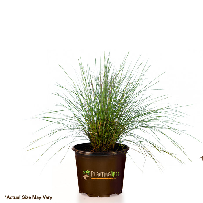 Pink Muhly Grass for Sale - Potted