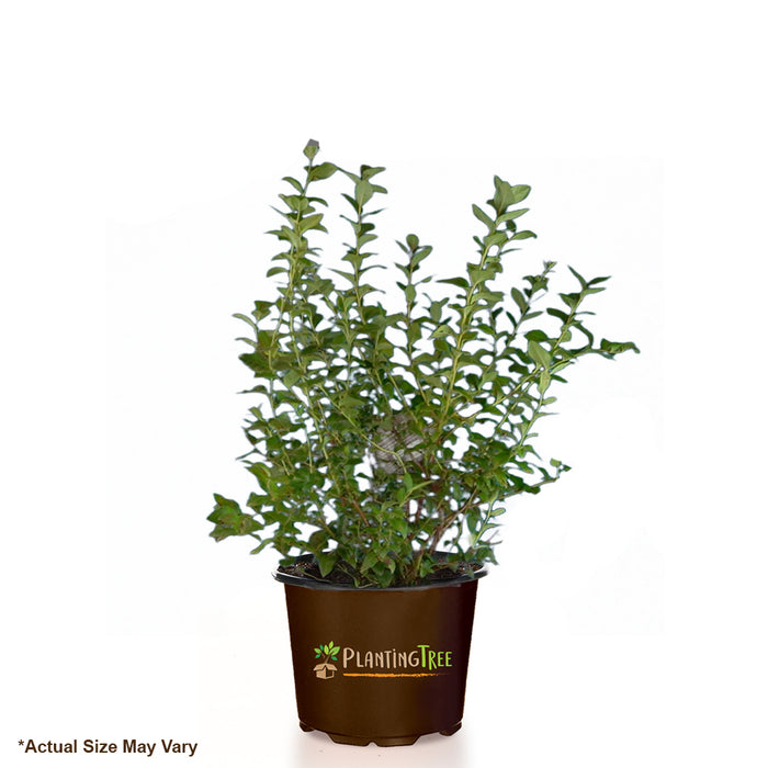 Blueray Blueberry Bush for Sale