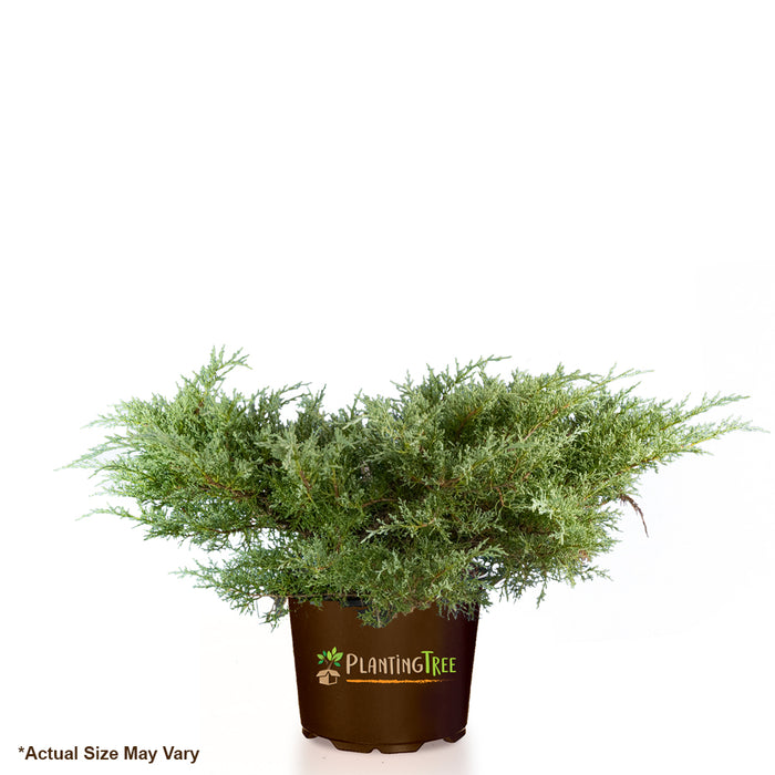 Angelica Blue Juniper for Sale