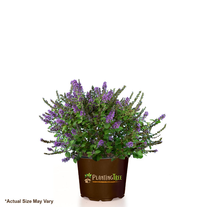 Lo and Behold Blue Chip Jr Butterfly Bush for Sale