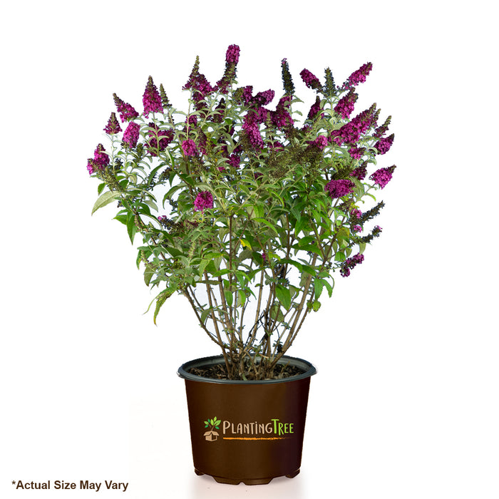 Miss Molly Butterfly Bush for Sale