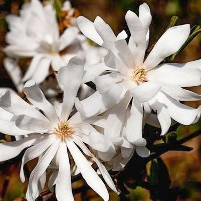Royal Star Magnolia Tree
