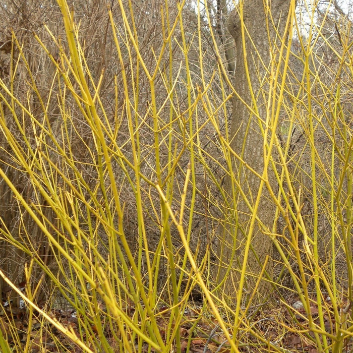 Yellow Twig Dogwood branches in winter