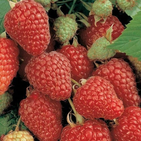 Heritage Raspberry Bush