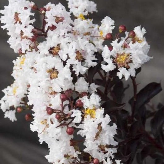 Moonlight Magic Crape Myrtle