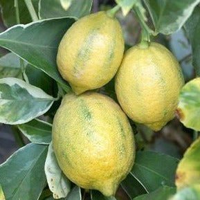 Variegated Meyer Lemon