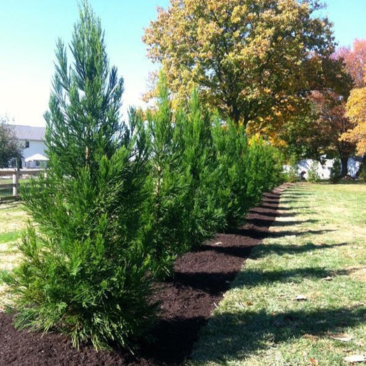Cryptomeria Radicans for Sale