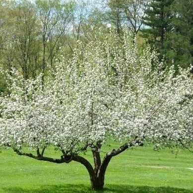 Yellow Delicious Apple Tree blossoms
