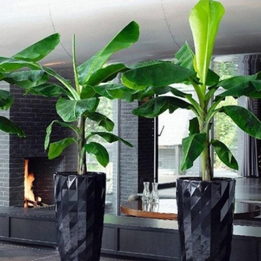 Basjoo Ornamental Banana Tree | Cold Hardy Banana Tree
