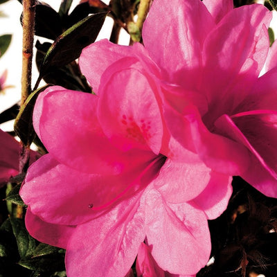 Autumn Empress Encore Azalea (photo by Encore® Azalea)