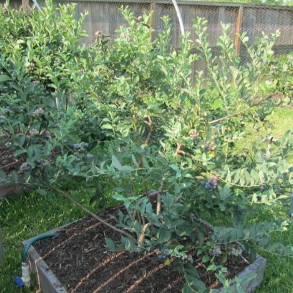 Brightwell Blueberry Bush